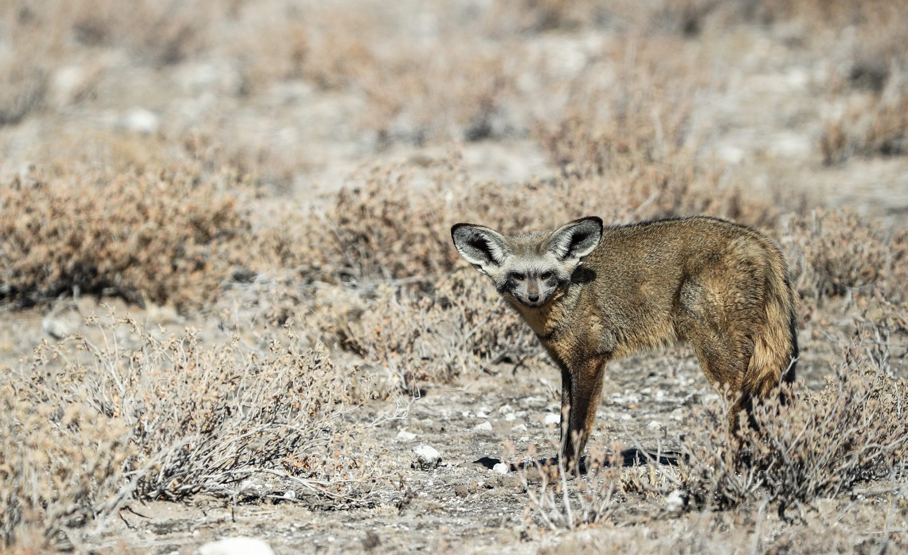Bat-eared fox, Botswana