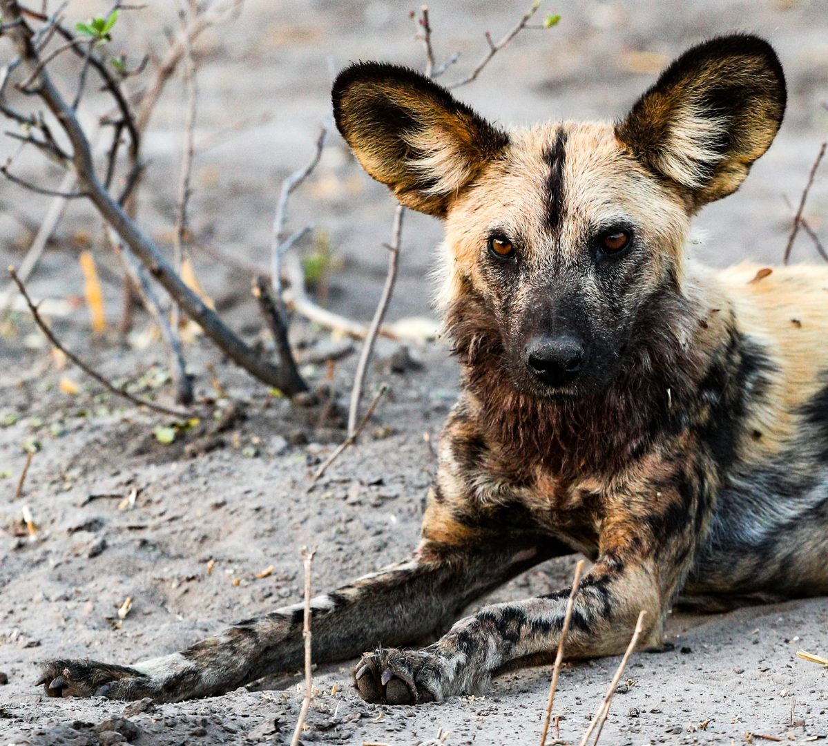 Painted wild dogs, Botswana