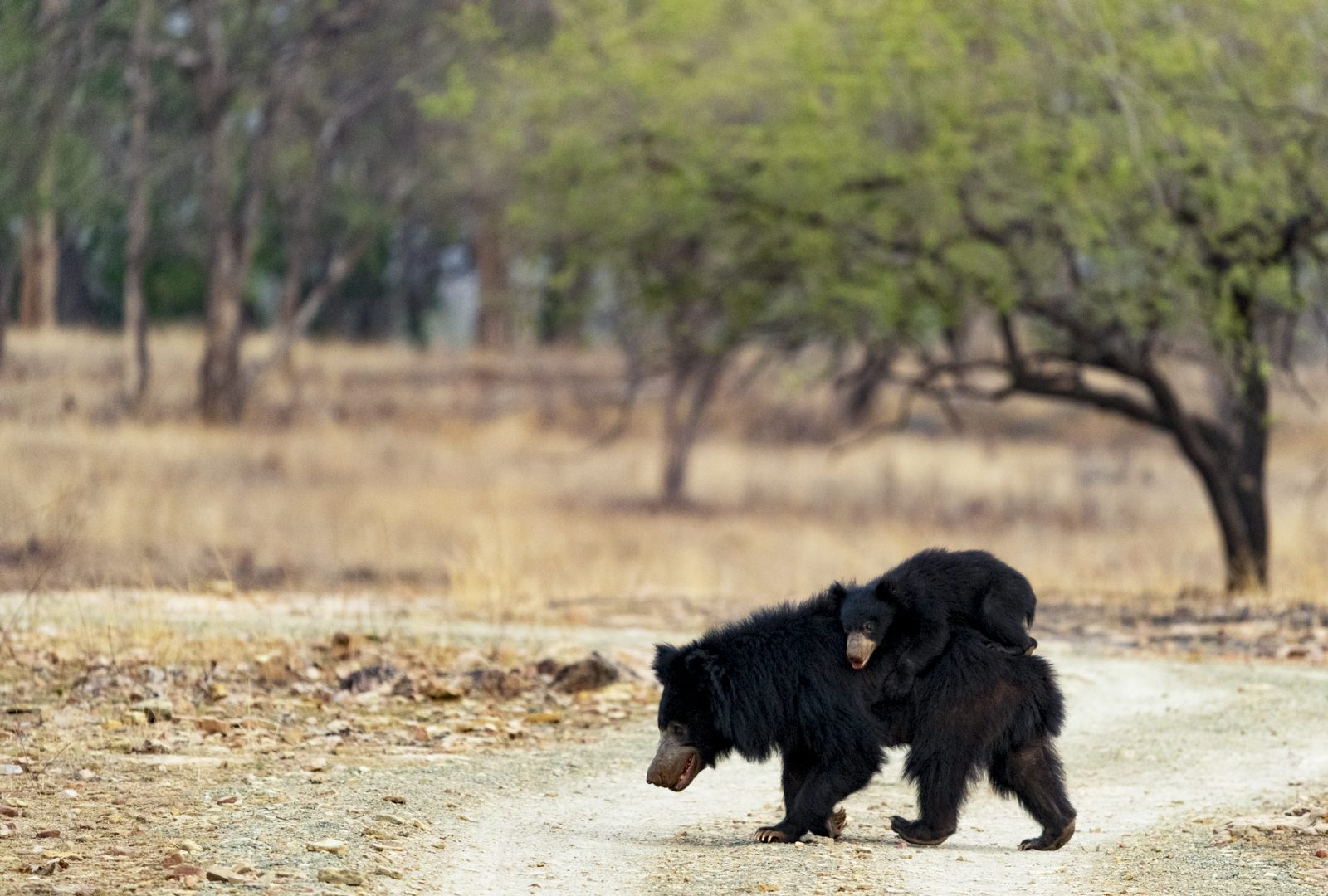 Sloth Bear & Cub, Panna Tiger Reserve, India.