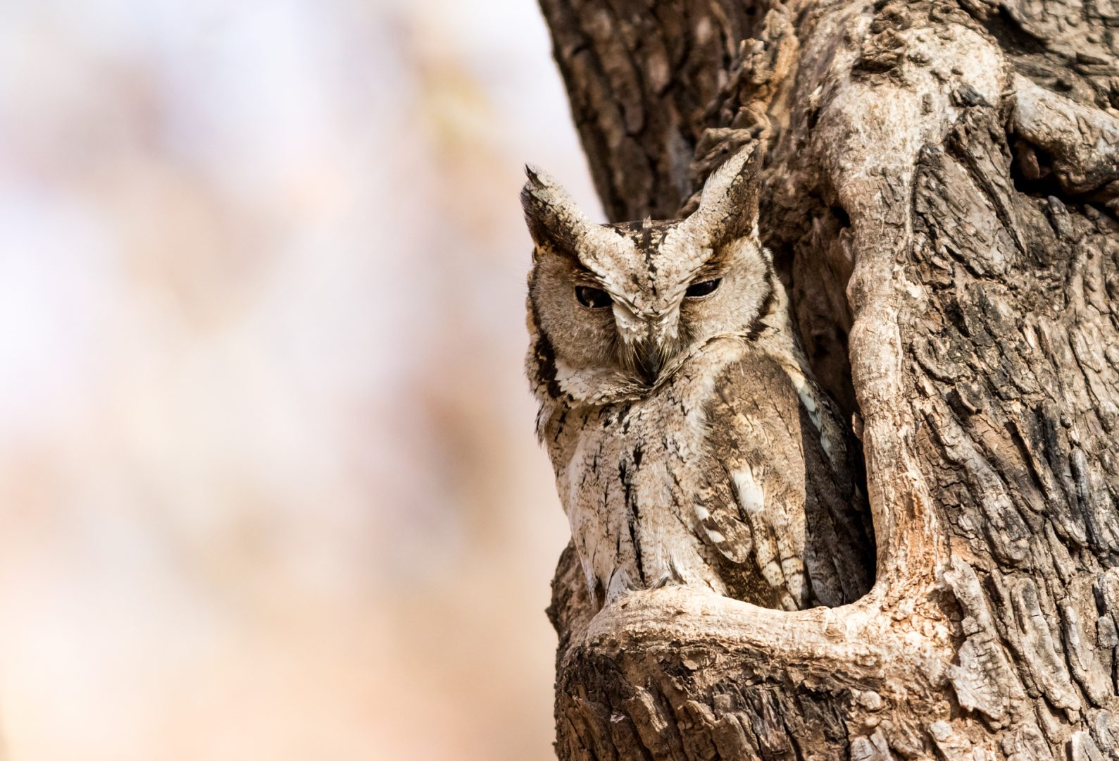 Indian Scops Owl, Ranthambhore Tiger Reserve, India.