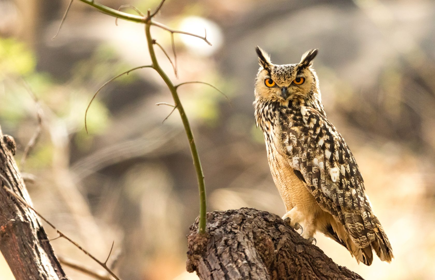 Indian Eagle Owl, Satpura National Park, India.