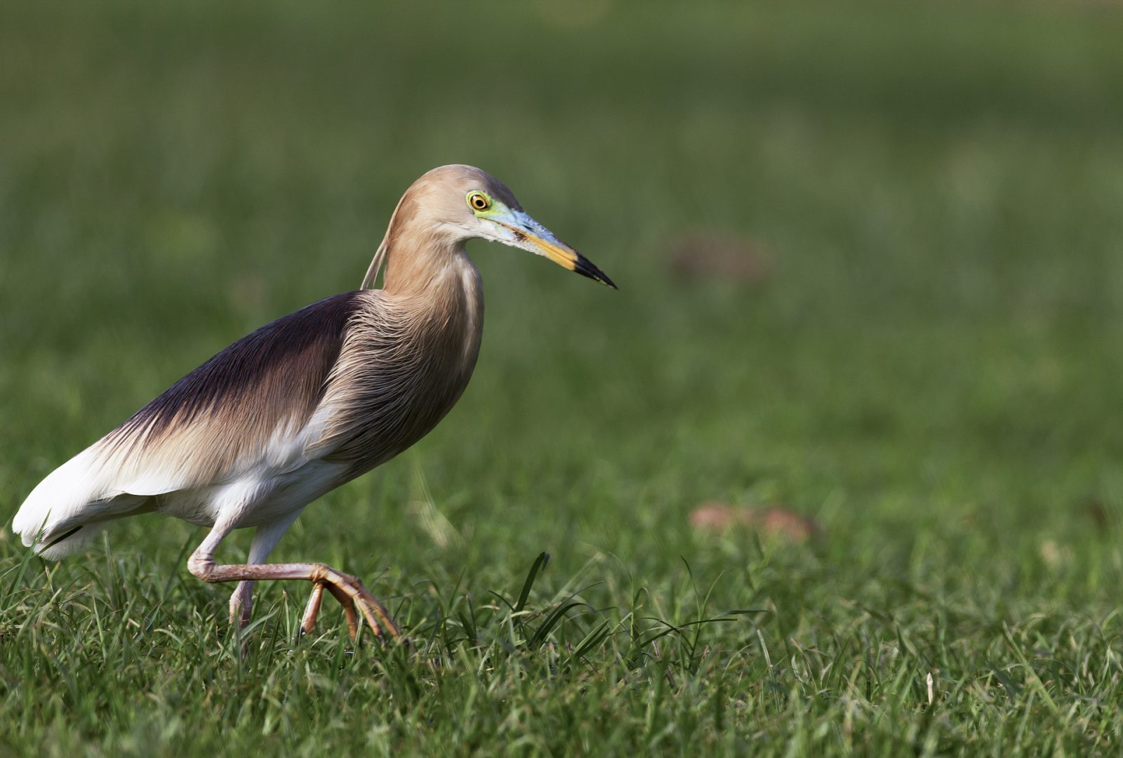 Indian Pond Heron, Delhi, India.