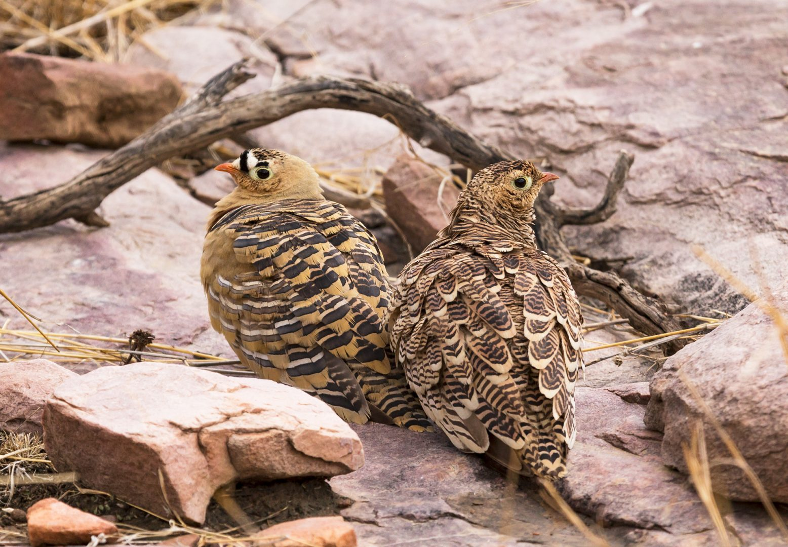Painted Sandgrouse, Ranthambhore Tiger Reserve, India.