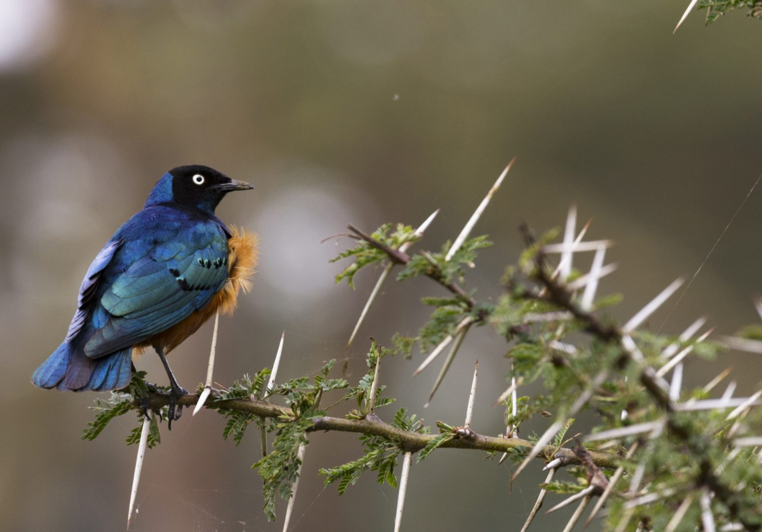 Superb Starling, Naivasha, Kenya.