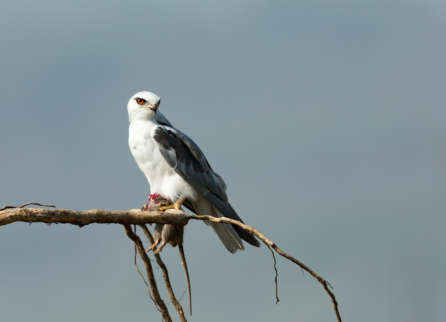 Black-shouldered Kite, Corbett Tiger Reserve, India.